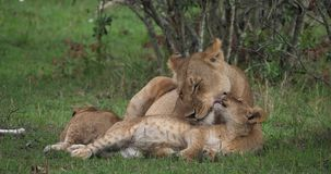 León africano, panthera leo, madre que lame su Cub, Masai Mara Park en Kenia, metrajes