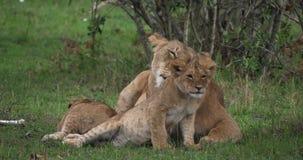 León africano, panthera leo, madre que lame su Cub, Masai Mara Park en Kenia, almacen de metraje de vídeo