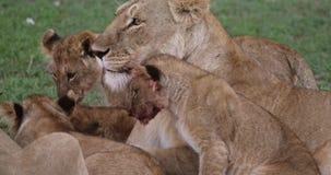 León africano, panthera leo, madre que lame su Cubs, Masai Mara Park en Kenia, almacen de video
