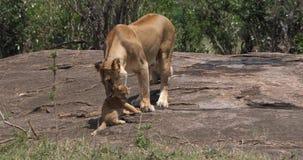 León africano, panthera leo, madre que lleva Cub en su boca, Masai Mara Park en Kenia, almacen de video