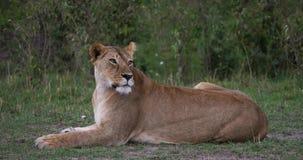 León africano, panthera leo, mirada femenina alrededor, Masai Mara Park en Kenia, almacen de video