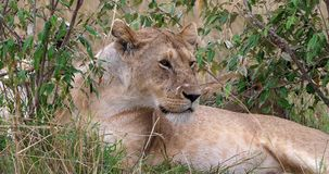 León africano, panthera leo, mirada femenina alrededor y lamedura, Masai Mara Park en Kenia, almacen de video