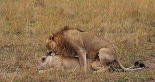León africano, panthera leo, par que se acopla, Masai Mara Park en Kenia, almacen de metraje de vídeo