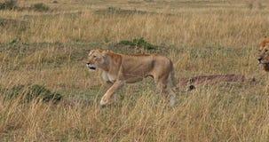 León africano, panthera leo, pares caminando, Masai Mara Park en Kenia, almacen de metraje de vídeo