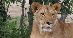 León africano, panthera leo, retrato de la hembra, Masai Mara Park en Kenia, almacen de video
