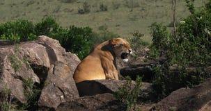 León africano, panthera leo, situación femenina en las rocas, Masai Mara Park en Kenia, almacen de metraje de vídeo