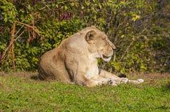 León africano, poniendo en hierba, fauna Imagenes de archivo