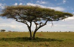 León africano que se reclina sobre el árbol Imagenes de archivo