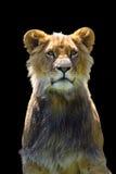 León africano y x28; Leo& x29 del Panthera; en cautiverio Fotos de archivo libres de regalías