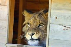 León africano y x28; Leo& x29 del Panthera; en vigilancias vecinales del cautiverio a través de una ventana Imagen de archivo libre de regalías