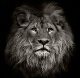 León arrogante Foto de archivo libre de regalías