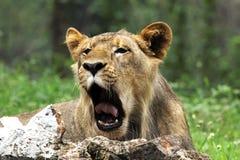 León asiático Foto de archivo libre de regalías
