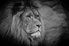 León asiático Fotos de archivo libres de regalías