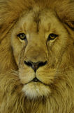 León asiático (persica de leo del Panthera) Foto de archivo