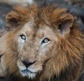 León asiático raro, Kerala, la India Fotos de archivo libres de regalías