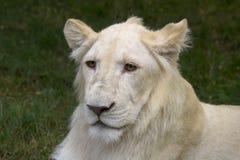 León blanco Fotos de archivo
