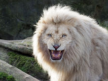León blanco Imagen de archivo libre de regalías