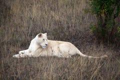León blanco Imágenes de archivo libres de regalías