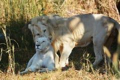 León blanco Foto de archivo