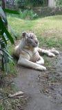 León blanco Fotografía de archivo libre de regalías