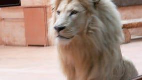León blanco adulto en la jaula del parque zoológico metrajes