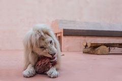 León blanco con el retrato de los ojos azules ciérrese encima de la alimentación en el parque zoológico Imagenes de archivo