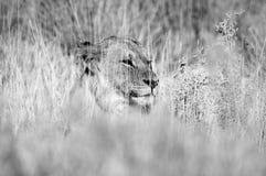 León blanco y negro en la hierba Fotografía de archivo