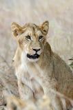 León cercano en el parque nacional de Kenia Fotos de archivo libres de regalías