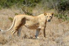 León cercano en el parque nacional de Kenia Imagenes de archivo