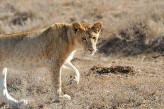 León cercano en el parque nacional de Kenia Fotos de archivo