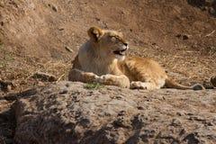 León con sus dientes Imágenes de archivo libres de regalías