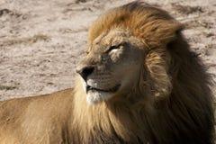 León contento del varón adulto que toma el sol en el Sun Imágenes de archivo libres de regalías