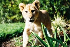 Lion Cub 01 Imagen de archivo libre de regalías