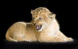 León Cub foto de archivo