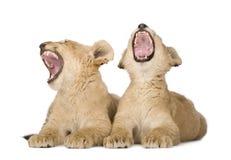 León Cub (4 meses) fotografía de archivo libre de regalías
