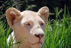 León Cub femenino en la hierba Imagen de archivo libre de regalías