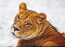 León curioso Foto de archivo