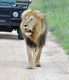 León de África Foto de archivo libre de regalías
