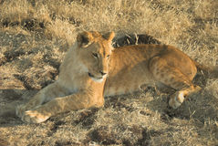 León de África (Panthera leo) Imagen de archivo