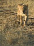 León de África (Panthera leo) Imagenes de archivo