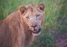 León de Afrion en la sabana en el parque nacional real de Hlane Foto de archivo libre de regalías