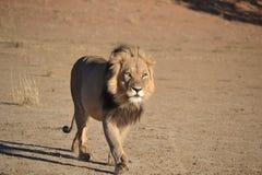 León de Kalahari Imagen de archivo libre de regalías