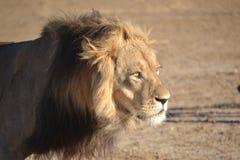 León de Kalahari en Kgaligadi Fotografía de archivo libre de regalías