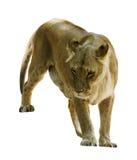León de la hembra adulta Fotografía de archivo libre de regalías