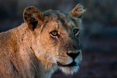 León de la madre en la oscuridad Fotos de archivo