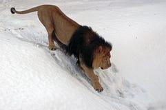 León de la nieve Foto de archivo libre de regalías