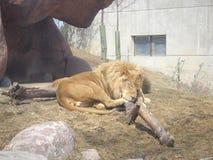 León de la oferta que tiene una siesta en el parque zoológico de Toronto imagen de archivo libre de regalías