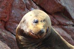León de mar foto de archivo libre de regalías