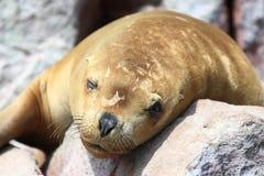 León de mar Fotos de archivo libres de regalías
