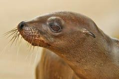 León de mar Foto de archivo